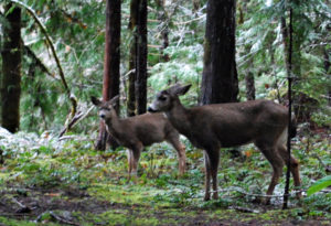 Two does at Breitenbush
