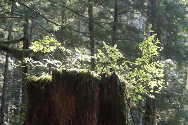 nurse log in forest sunlight