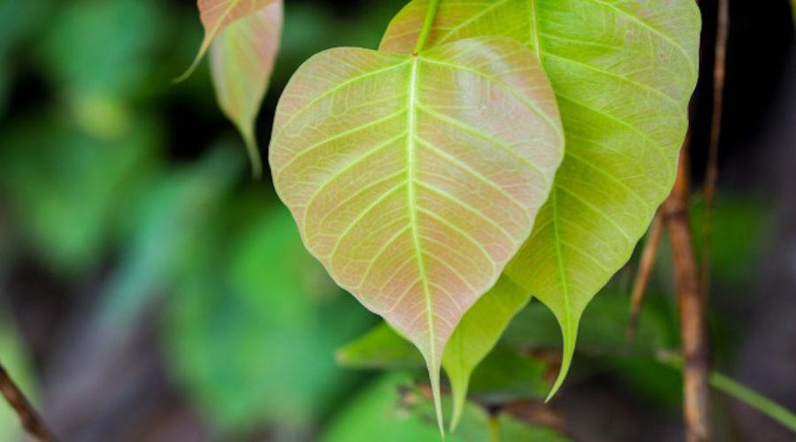 bodhi leaf heart