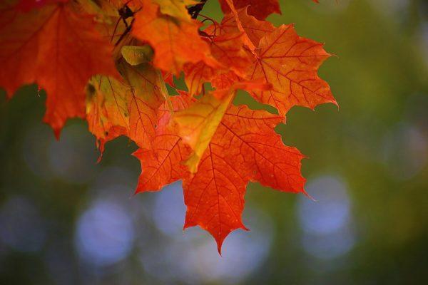 brilliant autumn maple leaves