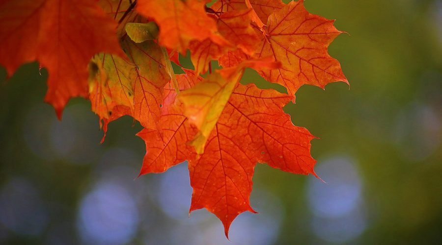 brilliant autumn maple leaves