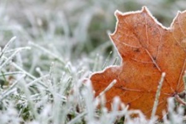 frosted grass and maple leaf as winter approaches