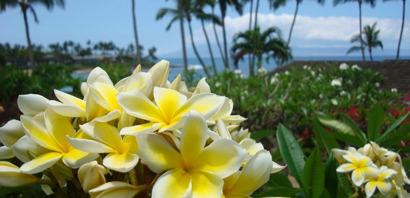 plumerias on Maui