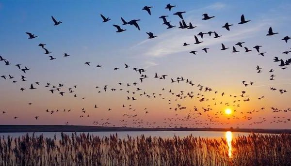 geese migrating at sunset