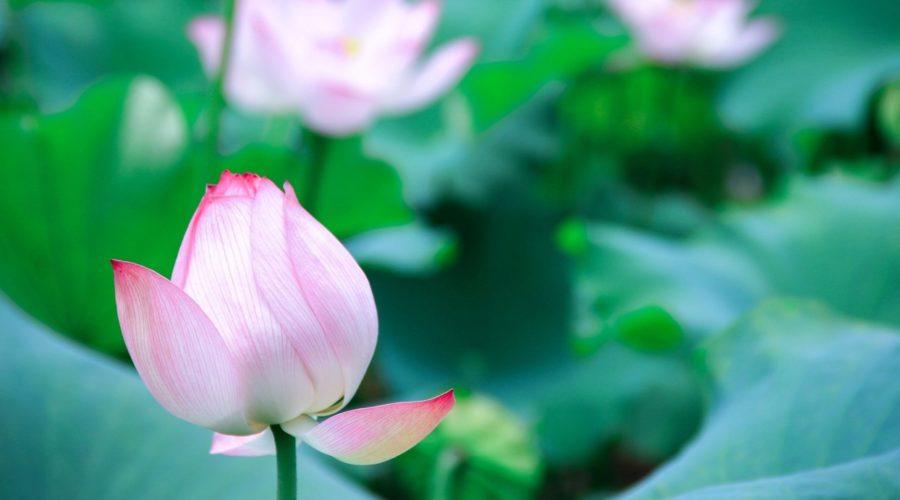 Budding pink lotus
